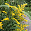 Giant goldenrod; late goldenrod