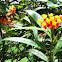 Scarlet Milkweed / Bloodflower