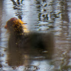 Moorhen; Polla de Agua