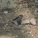 Coromandel Glassy Tiger