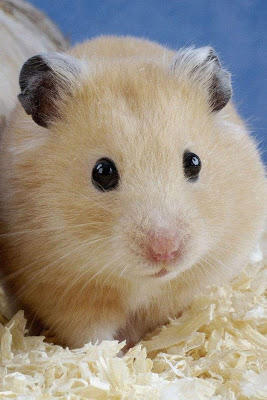 Hamster Wallpaper - screenshot