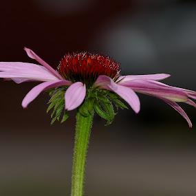 Echinacea-0714 by Benjamin Howen III - Flowers Single Flower ( echinacea, purple, petals, bloom, flower )