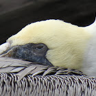Brown pelican nap