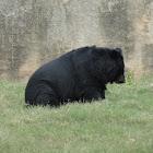 Asian black bear or moon bear or white-chested bear