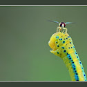 Syrphid Fly ~landed on Blue Tiger Moth Caterpillar ~