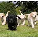 go walkies for Guide Dogs logo