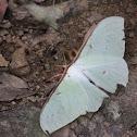 Long-tailed Greenish Silk Moth