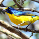 Yellow-Throated Euphonia