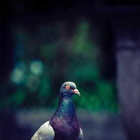 a dove by Nur Saputra - Animals Birds