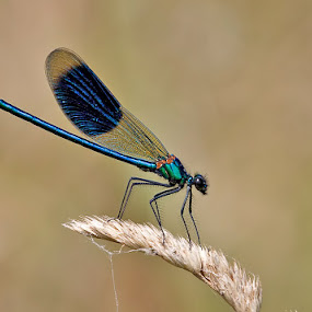 Banded Demoiselle by Derek Lees - Animals Insects & Spiders ( uk, middleton lakes, banded demoiselle, rspb, insect )