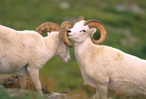 Big horn sheep spar in Denali National Park, Alaska.