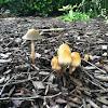 Inky cap Mushrooms