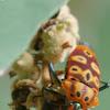Mallotos Shield Bug