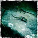 Eastern water dragon.