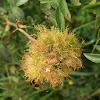 Moss Gall