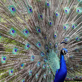 Dancing Peacock by Vinod Chauhan - Animals Birds ( park, zoo, mauritius, dancing peacock, 23 colored earth, peacock )