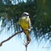 Suiriri (Tropical Kingbird)