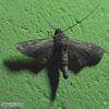 Eutelia moth