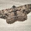 Geometer Moth.