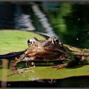 European Common Brown Frog