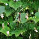 Indian golden orb-web spider