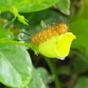 Spotted Oleander caterpillar