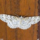 Geometrid Moth Metapercnia ductaria