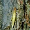 Forbes' tree cricket