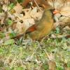female cardinal (?)