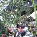 papilonacea