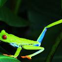 Rana verde de ojos rojos