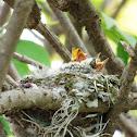 Vermilion Flycatcher Chicks