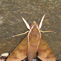 Moth in Atherton Tablelands, Cairns