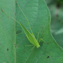 Long-horn grasshopper