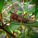 Dragon Headed Katydid (Female)