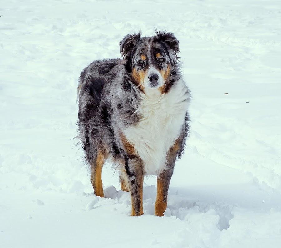The Old Man by Sue Delia - Animals - Dogs Portraits ( winter, snow, blue meril, australian shepherd, aussie,  )