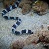 Harlequin Snake Eel