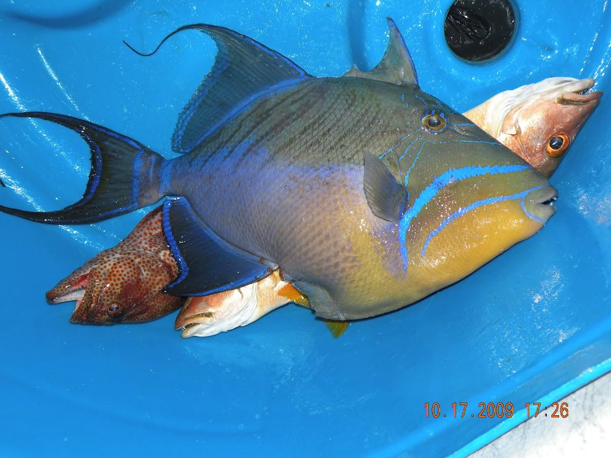 """Ole' Fish"" Queen Trigger Fish"