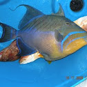 """Ole' Fish"" Queen Trigger Fish"