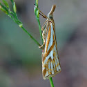 Snout Moth or Crambid moth
