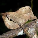 Leaf mimicking Grasshopper