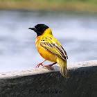 Yellow-backed Weaver