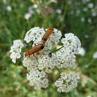 common red Soldier Beetle,