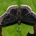 Riodonidae