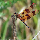 Halloween Pennant dragonfly (male)