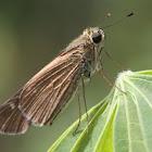 Long-winged Skipper