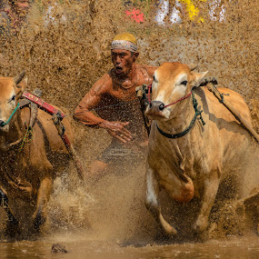 Come on by Teddy Winanda - Sports & Fitness Rodeo/Bull Riding ( minangkabau traditional sport, west sumatera tourism, indonesia tourism, minangkabau culture, racing cows, pacu jawi )