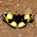Yellow Pansy (male)