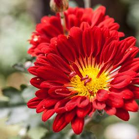 Red glory by Graeme Wilson - Flowers Single Flower ( red flower, glorious, daisy, flowers, sunlight )