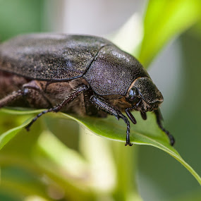 Beetle by Jimmy Fang - Animals Insects & Spiders ( nature, bugs, wildlife, insects, beetle,  )
